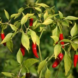 Vypěstuj si vlastní chilli (náhled)