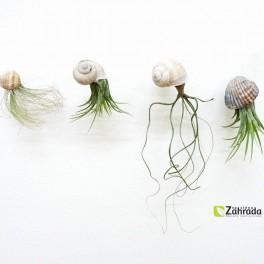 Rostlinka šnečí (náhled)