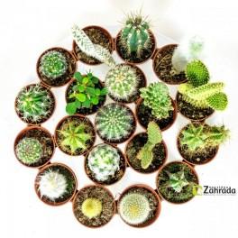 Kaktusyy! (náhled)