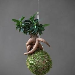 Kokedama Ficus L (náhled)