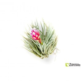 Rostlina broméliovitá (náhled)