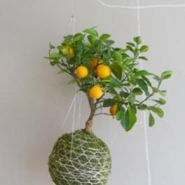 Kokedama citrus (náhled)