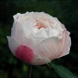 Historická růže (náhled)