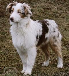 Asistenční pes (náhled)