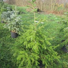 Pronájem vánočního stromku (náhled)