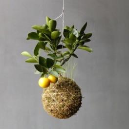 Citron na niti (náhled)