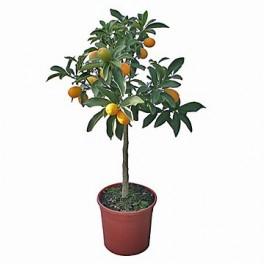 Kumquat (náhled)