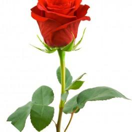 DYI růže (náhled)
